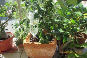 Lemon-Tree-on-Balcony-1