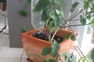 Lemon-Tree